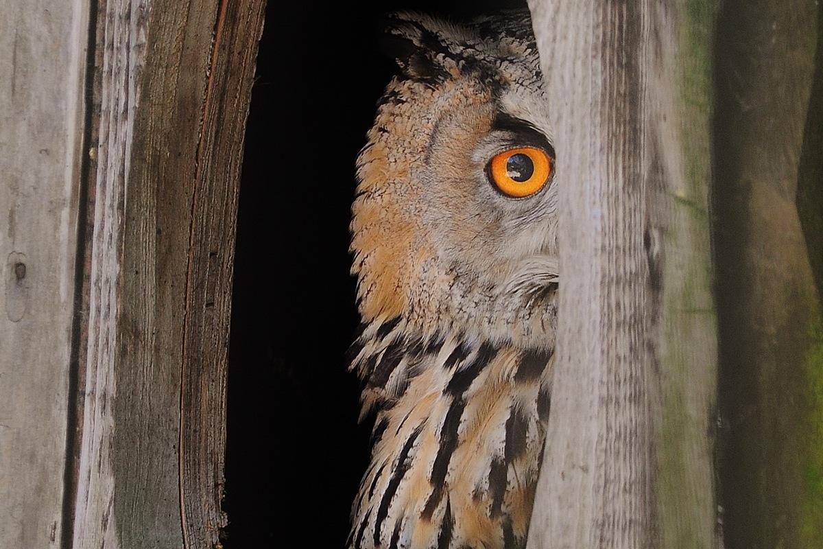 bird-animal-owl